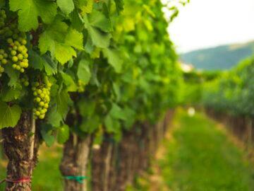 Douglas Jacobsohn learns the vine art of viticulture - Busi Jacobsohn